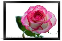 Beautiful pink rose with leaves on a wite backgrou, Framed Print