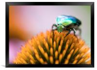 Bright green Chapfer on a flower of Echinacea, Framed Print