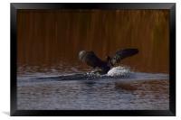 Cormorant landing in the lake @ Ham Wall Meare. , Framed Print