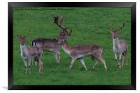 Wild Fallow buck deers in Somerset Uk , Framed Print