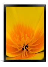Yellow Poppy, Framed Print