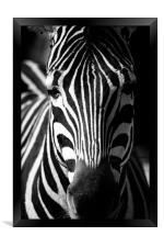 Zebra, Framed Print