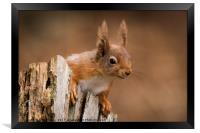 Red Squirrel looking for some nuts , Framed Print