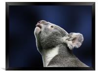 Cute Koala looking up in wonder, Framed Print