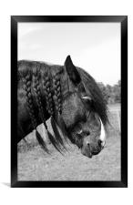 Shire horse with plaited mane, Framed Print