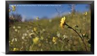 Yellow daisy, Framed Print