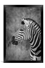 Striped stallion, Framed Print