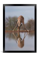 Mirrored impala, Framed Print