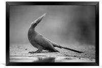 Grey go-away bird, Framed Print