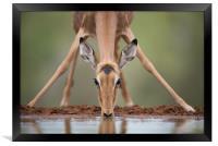 Impala yoga, Framed Print