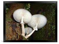 Porcelain fungus, Epping Forest., Framed Print
