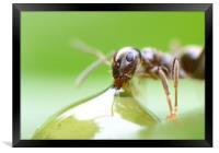 Ant sipping honey, Framed Print