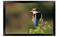 Brown Hooded Kingfisher, Framed Print
