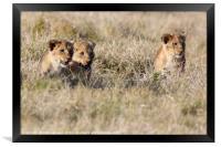 Lion Cubs, Framed Print