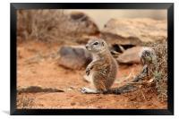 Baby Ground Squirrel, Framed Print
