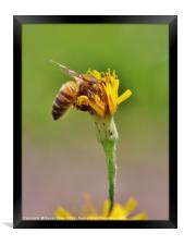 Pollination - Bee on a Flower, Framed Print