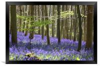 Queen's Wood Bluebells, Cheltenham, Framed Print