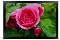 Large Pink Rose, Framed Print