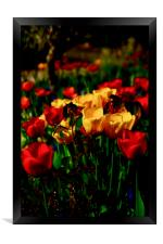 Colourful Tulips, Framed Print
