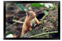 Red Squirrel in a Woodland (Scotland), Framed Print