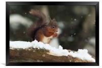 Red Squirrel in the Snow (Aberdeenshire, Scotland), Framed Print