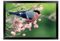 Bullfinch with pink berries, Framed Print