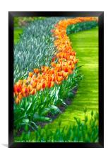 Tulips in full bloom, Framed Print