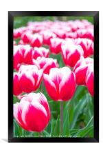 Tulips in a bunch, Framed Print