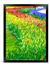 Rainbow of tulips at Keukenhof garden, Framed Print