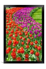 Spring flowers at Keukenhof gardens, Framed Print