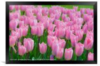 Tulips flowers at Keukenhof gardens, Framed Print