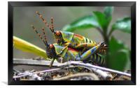 Grasshoppers , Framed Print
