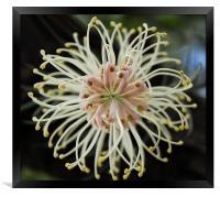 Bottlebrush flower , Framed Print