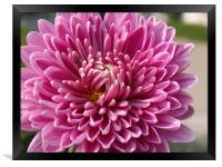 Beautiful Flower..... , Framed Print