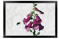 Bee and Foxglove , Framed Print