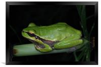 Tree Frog , Framed Print