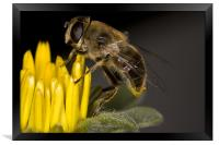 Feeding Bee, Framed Print