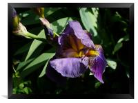 A water Iris, Framed Print