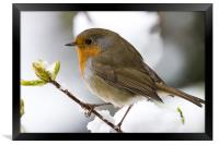 Robin 0431, Framed Print