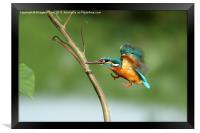 Common Kingfisher in flight., Framed Print