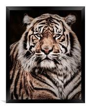 Sumatran Tiger Portrait, Framed Print