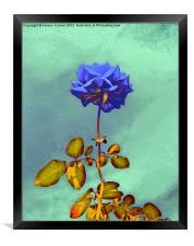 Blue Rose, Framed Print