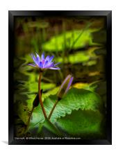 Beautiful Water Lilies, Framed Print