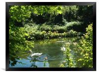 Swans on the river, Framed Print