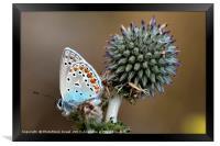 butterfly on a Echinops adenocaulon, Framed Print