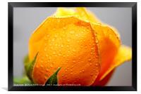 Yellow rose, Framed Print