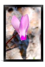 Persian Violet , Framed Print