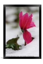 Persian Violet, Framed Print
