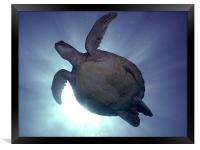 Turtle Silhouette, Framed Print