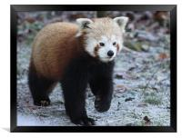 Red Panda, Framed Print